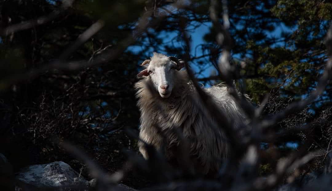 Sheep Vidova gora